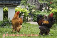 Những chú gà cảnh độc đáo