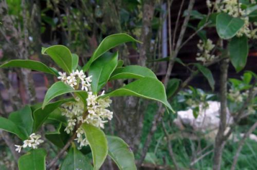 Cây mộc hương (Osmanthus fragrans)