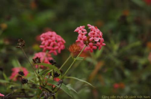 Cây hoa liễu mai (Cây liễu hồng - Rondeletia leucophylla)