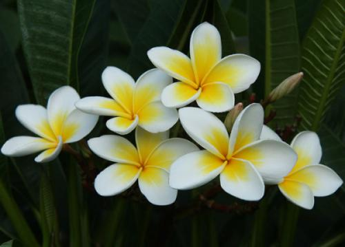 Hoa đại (Plumeria)
