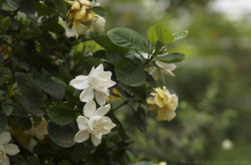 Hoa dành dành (Gardenia angustifolia Merr)