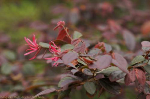 Cây hồng lộc đỏ (loropetalum chinense)