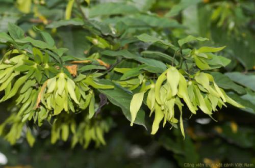 Hoa dẻ thơm (Desmos chinensis)