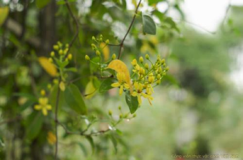 Cây mai hoàng yến (Tristellateia australasiae)