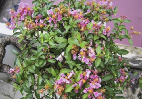 Cây hồng ngọc mai (Malpighia glabra)