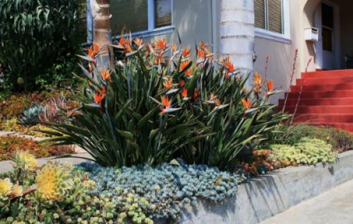 Hoa thiên điểu (Strelitzia reginae)