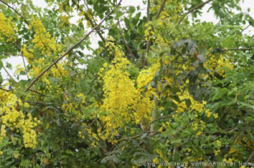 Cây Muồng Hoàng Yến (Cassia fistula)