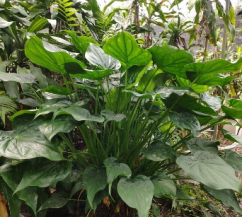 Cây thanh tâm (Alocasia cucullata)