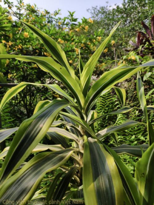 Cây đại tứ lan (Dracaena sanderiana)