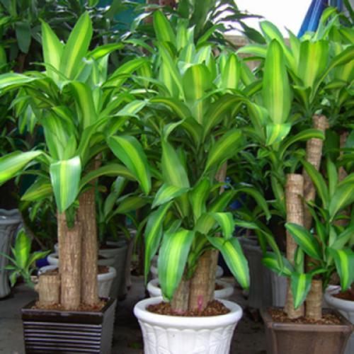 Cây thiết mộc lan (Dracaena fragrans)