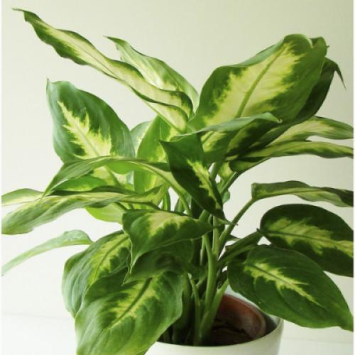 Cây vạn niên thanh (Dieffenbachia Amoena)