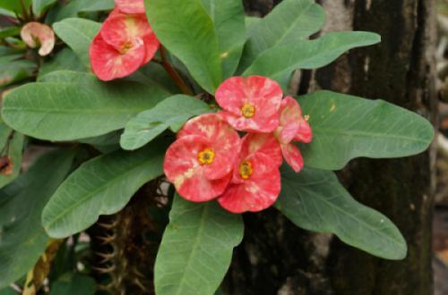 Xương rồng bát tiên (Euphorbia milii)