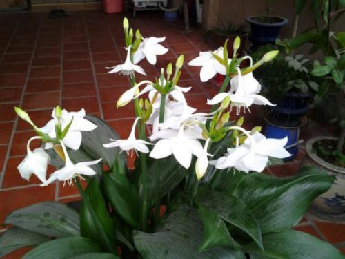 Cây hoa ngọc trâm (Hosta plantaginea Aschers)