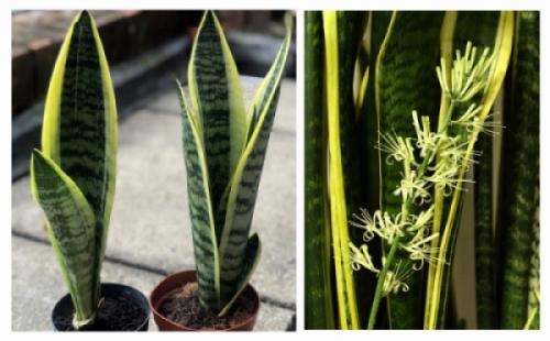 Cây lưỡi hổ (Sansevieria trifasciata)