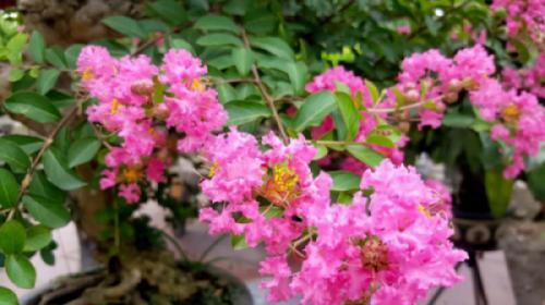 Cây hoa tường vi (Lagerstroemia Indica)