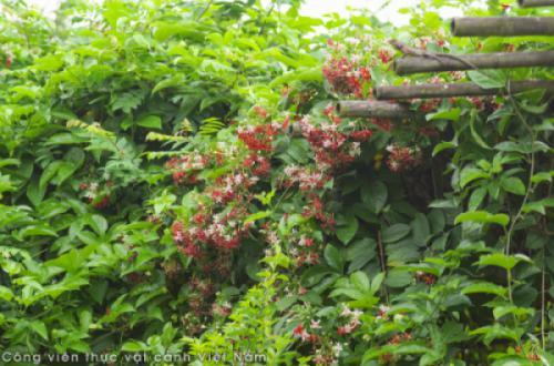 Hoa sử quân tử (Combretum indicum)