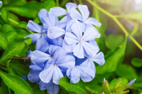 Hoa thanh xà - Hoa bạch xà (Plumbago auriculata)