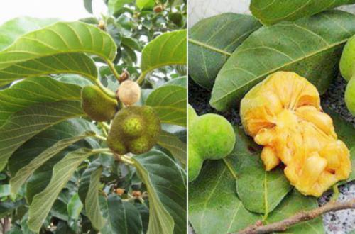 Cây chay (Artocarpus tonkinensis)