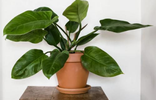 Cây Saphia (Philodendron erubescens)