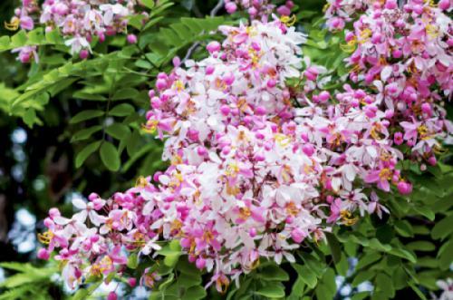 Cây muồng hoa đào (Cassia javanica L)