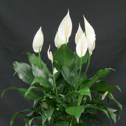 Cây lan ý (Spathiphyllum Wallisii)