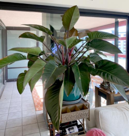 Cây trầu bà đế vương (Philodendron Imperial)