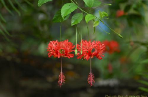 Râm bụt lồng đèn (hibiscus schizopetalus)