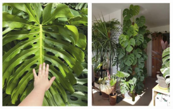 [Tổng hợp] Một số loại trầu bà có lá lớn, đẹp và lạ mắt nguồn gốc từ châu Mỹ