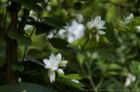 Cây móng bò trắng (Bauhinia acuminata)