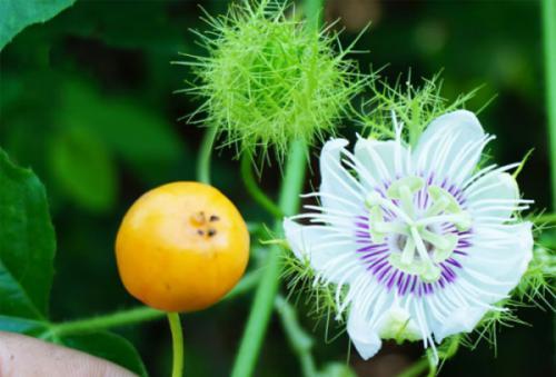 Cây lạc tiên hoa tím (hoàng liên tím - Passiflora foetida)