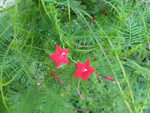 Cây hoa sao (Ipomoea quamoclit)