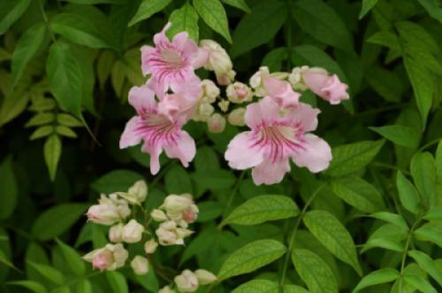 Cây hồng thiên hương (Podranea ricasoliana)