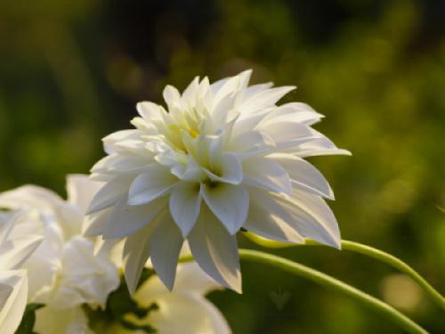Bộ sưu tập hoa cúc - Cúc thược dược