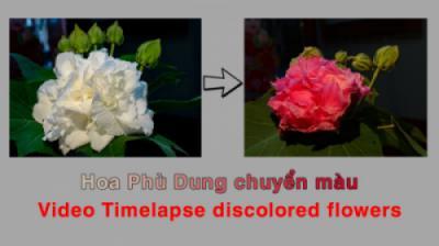 Quá trình đổi màu của hoa Phù dung