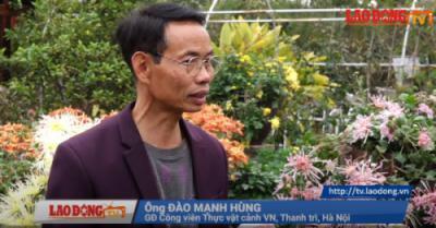 Báo Lao Động - Vườn hoa cúc cổ hàng trăm triệu của dân chơi Hà Thành