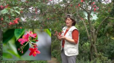 Cây hoa hồng mai (Jatropha pandurifolia)