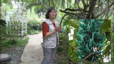 Hoa móng cọp xanh (Strongylodon macrobotrys)