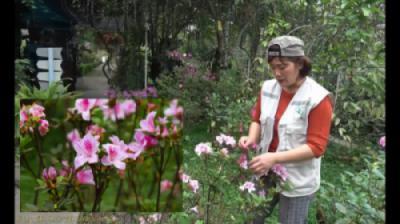 Cây hoa Đỗ Quyên (Rhododendron simsii)