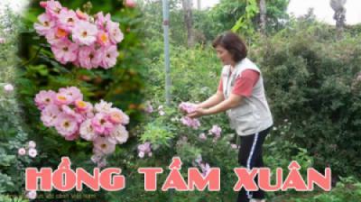 Hoa hồng tầm xuân (Rosa Canina)
