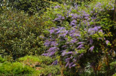 Vẻ ấn tượng của giàn hoa Mai xanh Đà Lạt