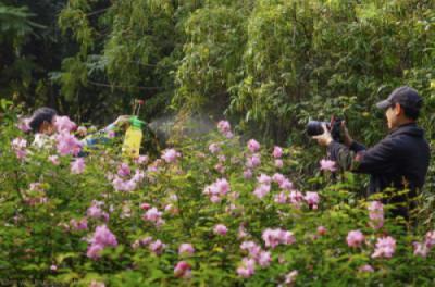 Vườn hoa hồng quế tuyệt đẹp khoe sắc dưới nắng