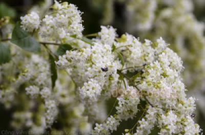 Cây Tử đinh hương leo hoa nở rộ tại Công viên thực vật cảnh Việt Nam