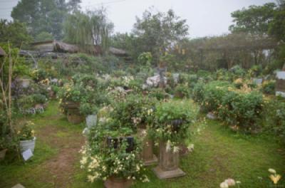 Vườn cúc cổ tuyệt đẹp giữa lòng Hà Nội