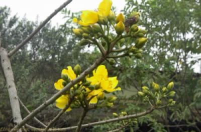 Cây mai hà lan trổ hoa rực rỡ tại Công viên