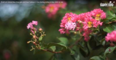 [Tuổi trẻ Online] Nao lòng góc phố hoa Tường vi - Con đường tường vi đẹp nhất Hà Nội