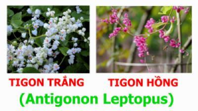 Hoa Tigon Trắng (Antigonon leptopus 'Alba') và hoa Tigon Hồng (Antigonon leptopus)