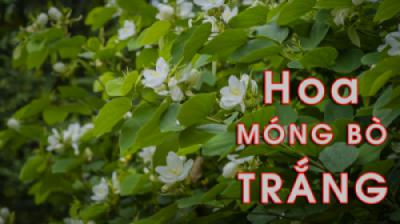 Cây MÓNG BÒ TRẮNG - Vẻ đẹp của những bông hoa trắng thuần khiết