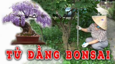GỐC KHỦNG HOA TỬ ĐẰNG làm phôi Bonsai cực độc đáo - CV thực vật cảnh Việt Nam