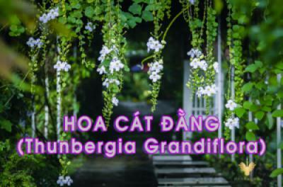 Lãng mạn giàn hoa leo Cát Đằng buông rủ tại Công viên thực vật cảnh Việt Nam