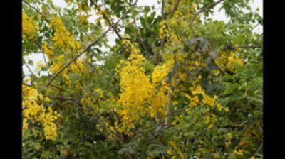 Muồng Hoàng Yến (Osaka hoa vàng - Cassia fistula) khoe sắc vàng rực rỡ tại CV thực vật cảnh VN